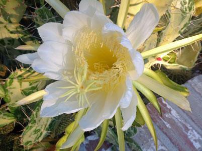 CactusFlowerWeb