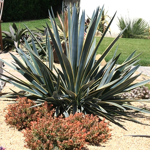 Agave_tequilana_Sunrise